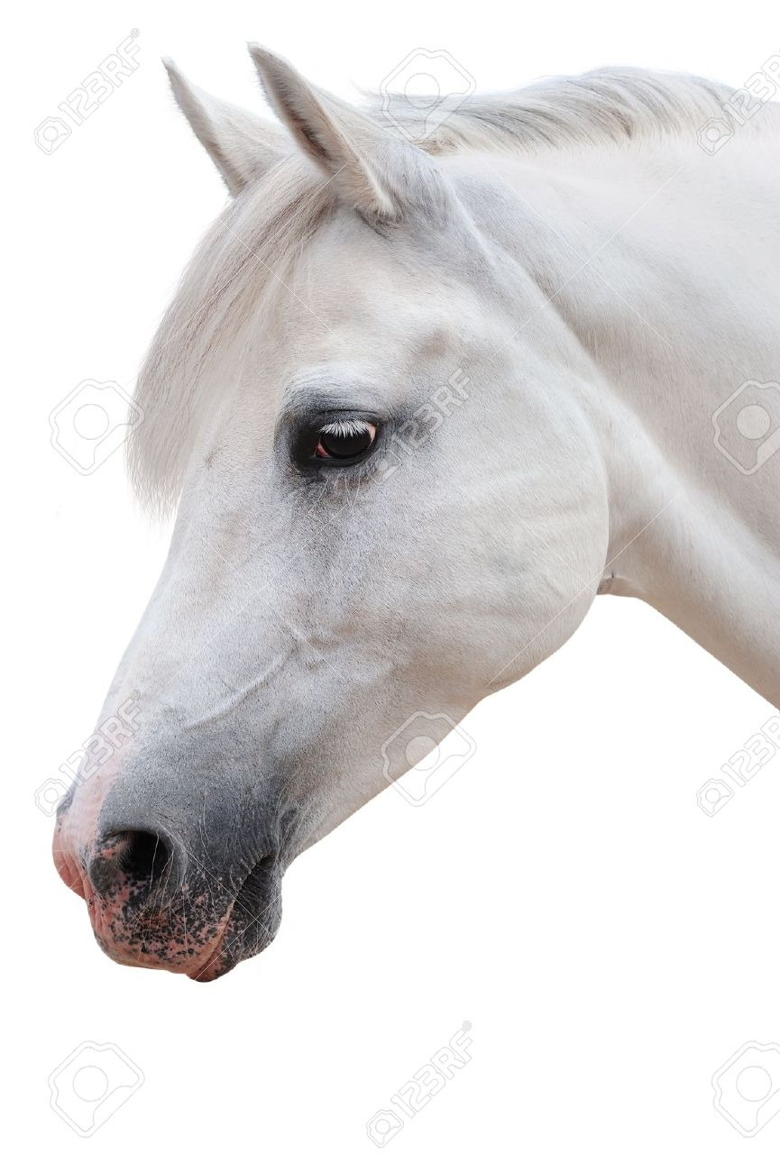 Arabian Horse Portrait Stock Photo Picture And Royalty Free Image Image 14051729