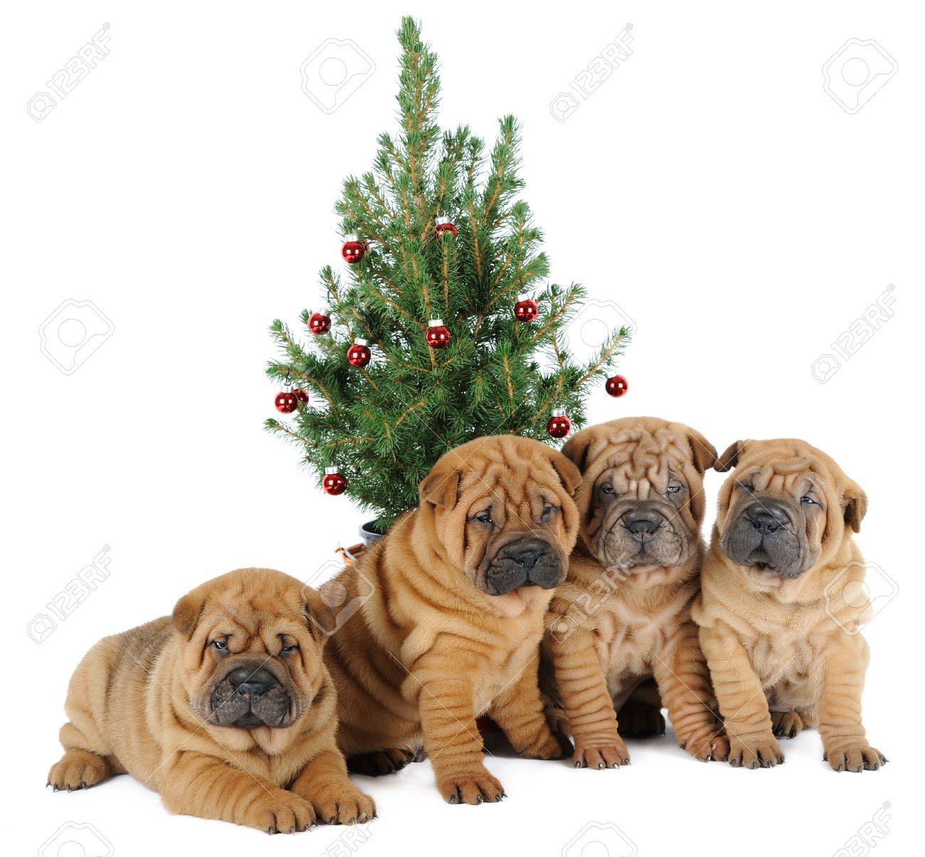Four shar pei puppies under a christmas tree Stock Photo - 14426552