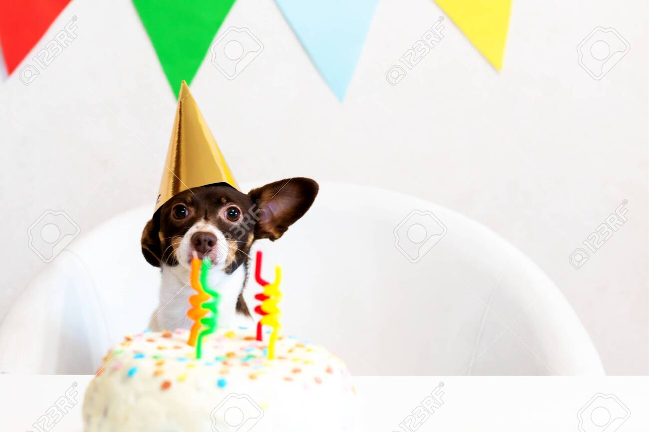 Cute Small Funny Dog With A Birthday Cake And A Party Carnival Stock Photo Picture And Royalty Free Image Image 138474759