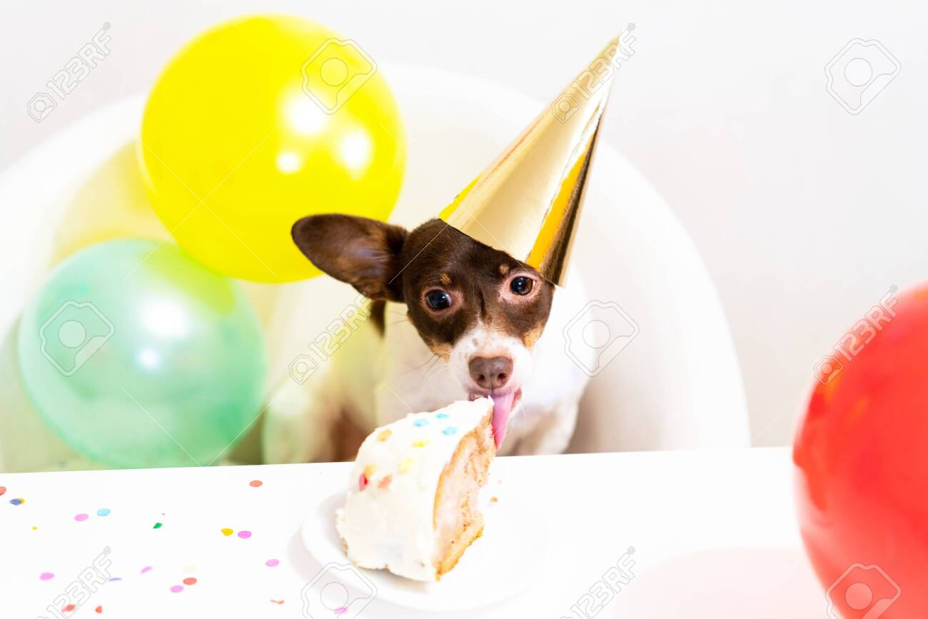 Cute Small Funny Dog In Party Hat With A Birthday Cake Eating Stock Photo Picture And Royalty Free Image Image 138474723