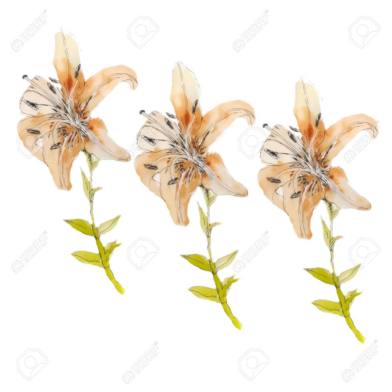 Lily Flowerswatercolor Drawing Lily Flowers Stock Photo Picture And