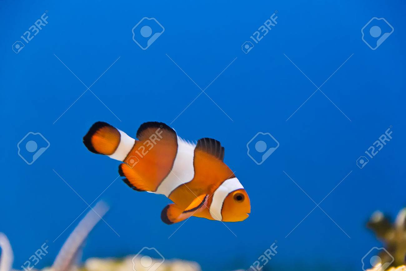 Image of clown fish in aquarium water Stock Photo - 26448661
