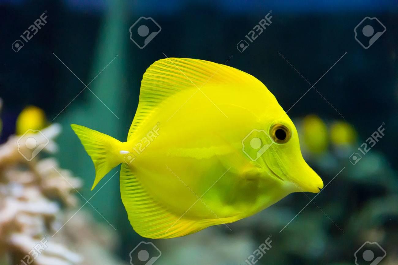 zebrasoma yellow tang fish in aquarium Stock Photo - 26448440