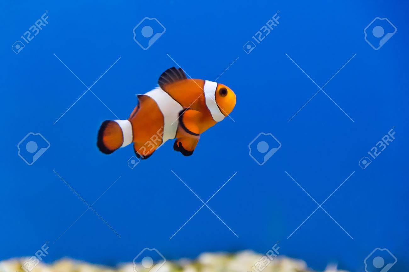 Image of clown fish in aquarium water Stock Photo - 27993738