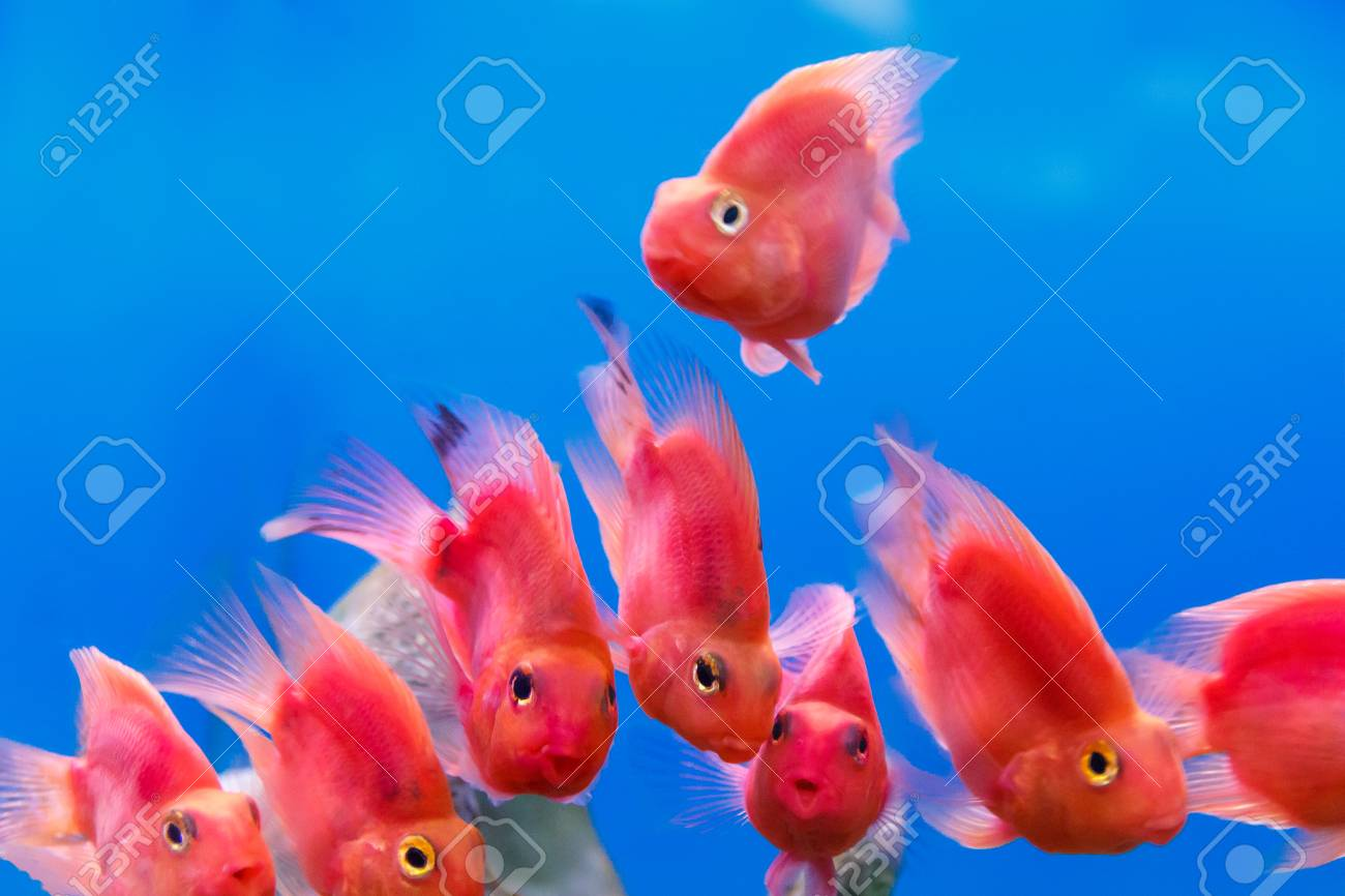 group of red parrot cichlid fishes on blue background stock photo