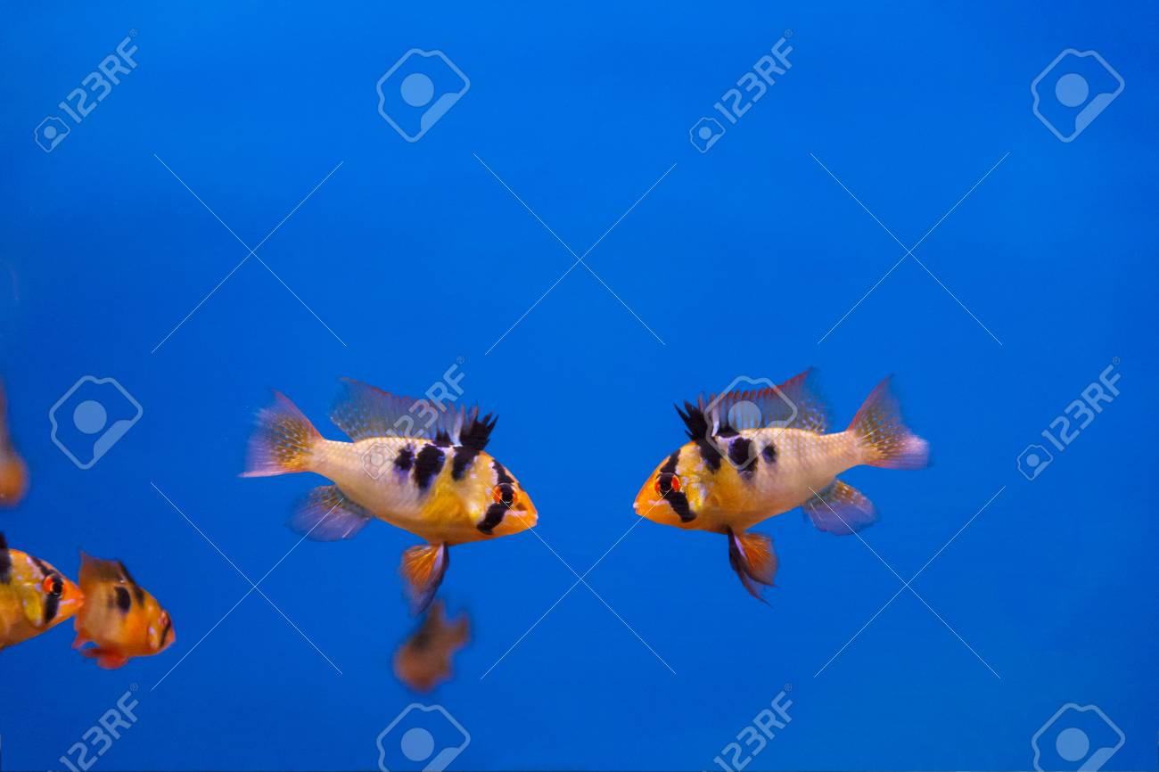 Two Fighters Fishes With Black Stripes Swimming In Aquarium Stock