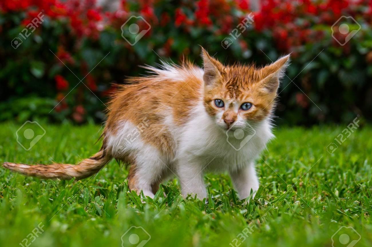 A Blue eyed Orange Baby Kitten Cat In A Park Kennedy Park Lima