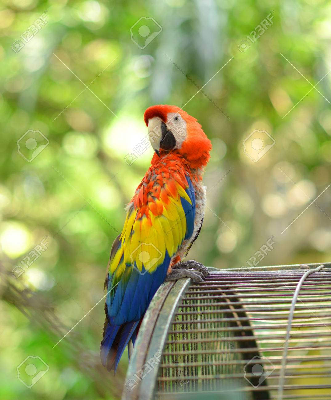 red yellow blue macaw parrot outside the cage stock photo picture