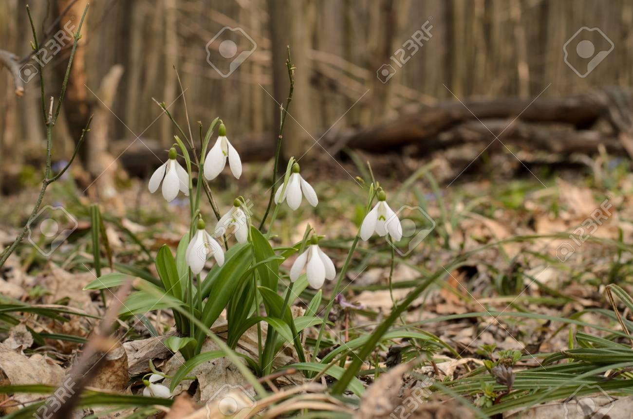 Belle Fleur Perce Neige De Fleurs Dans La Foret De Printemps Banque