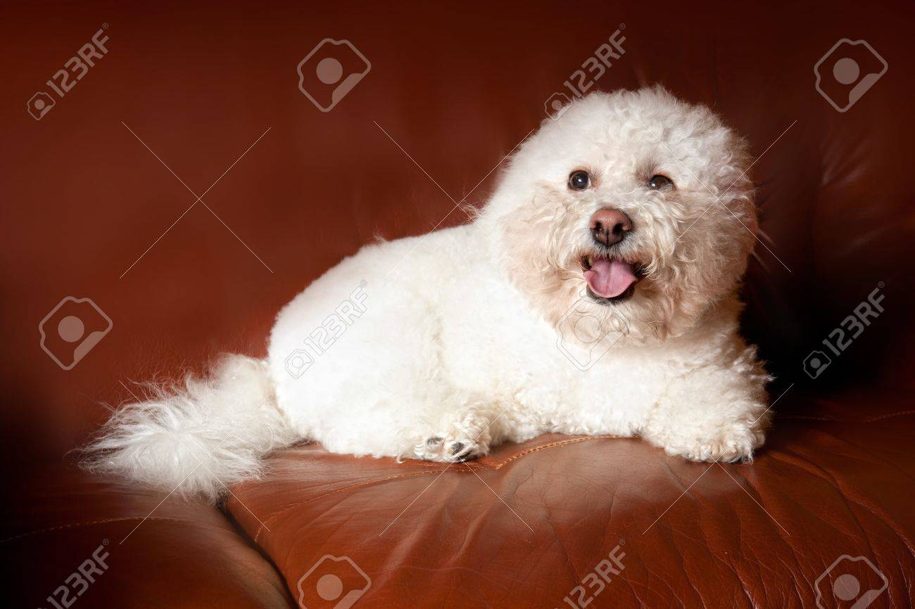 A Bichon Frise dog sitting on brown leather chair