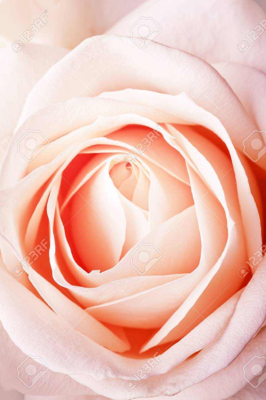 Peach rose close-up background Stock Photo - 11473266