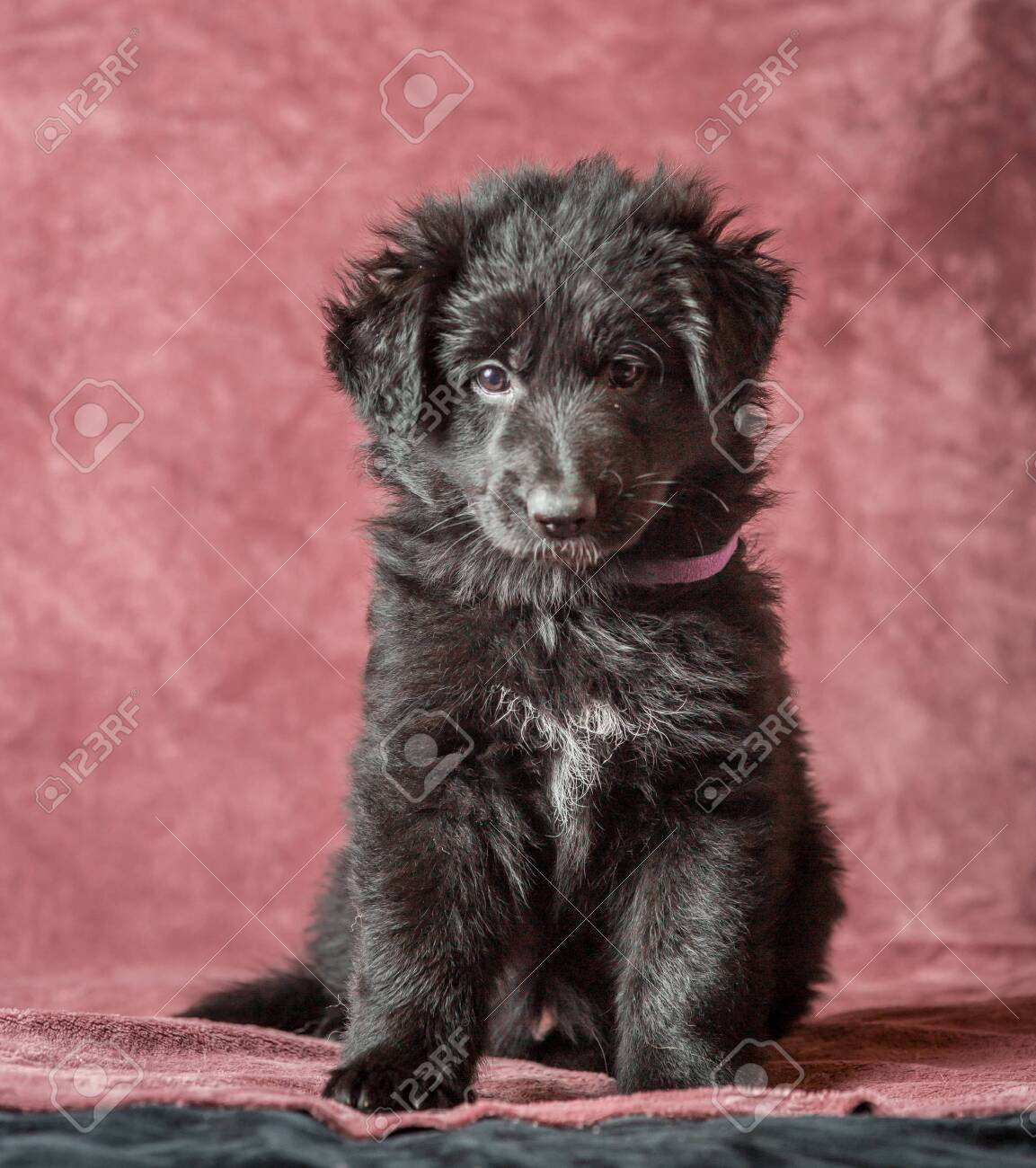 6 Weeks Old Long Haired Black German Shepherd Puppies Studio Stock Photo Picture And Royalty Free Image Image 113539423