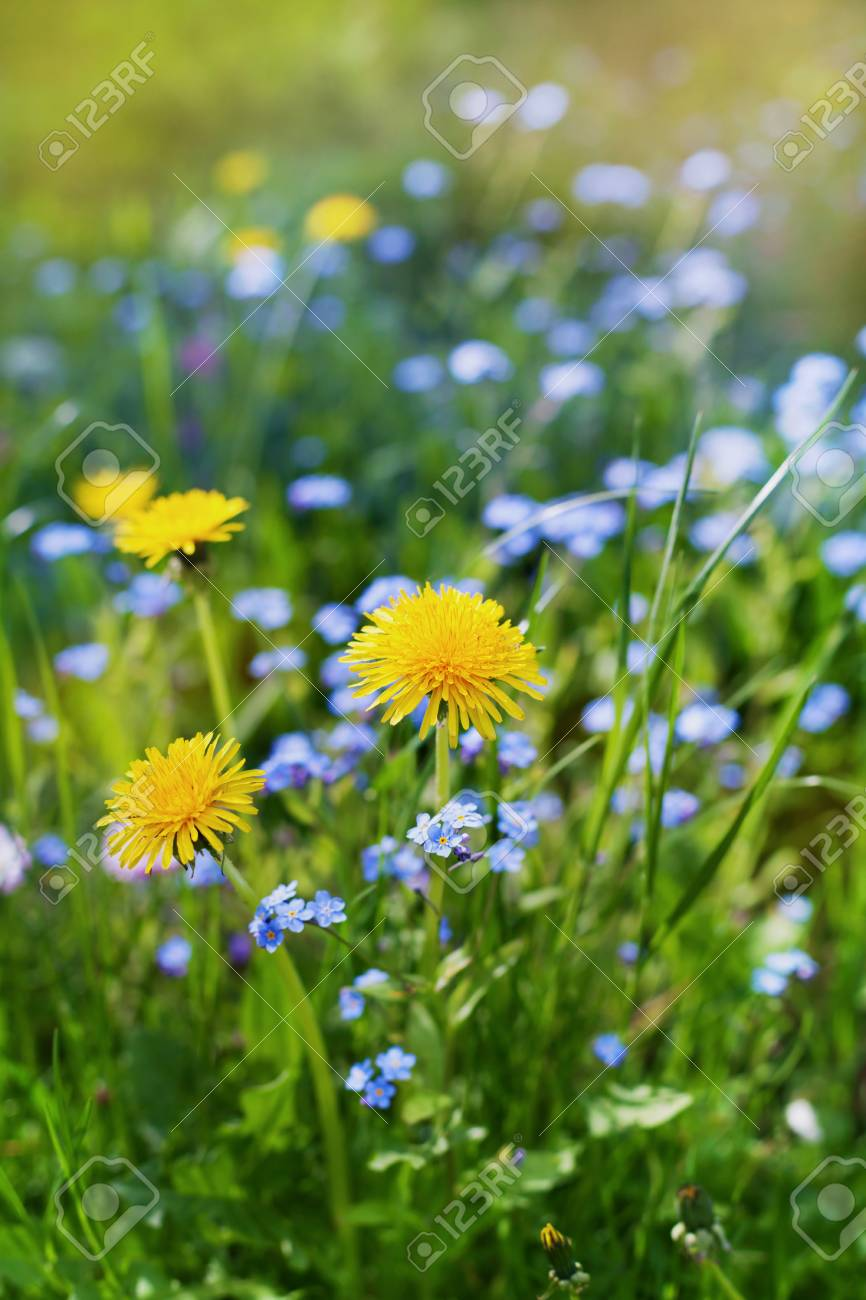Beautiful Summer Meadow With Flowers Dandelions And Forget Me Nots