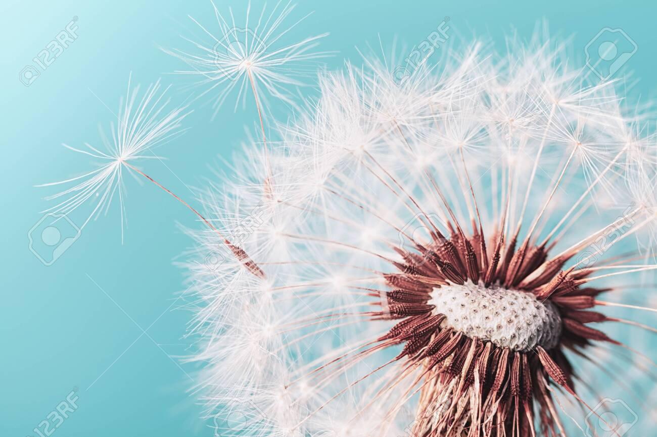 Beautiful dandelion flower with flying feathers on turquoise background. Macro shot. - 129214396