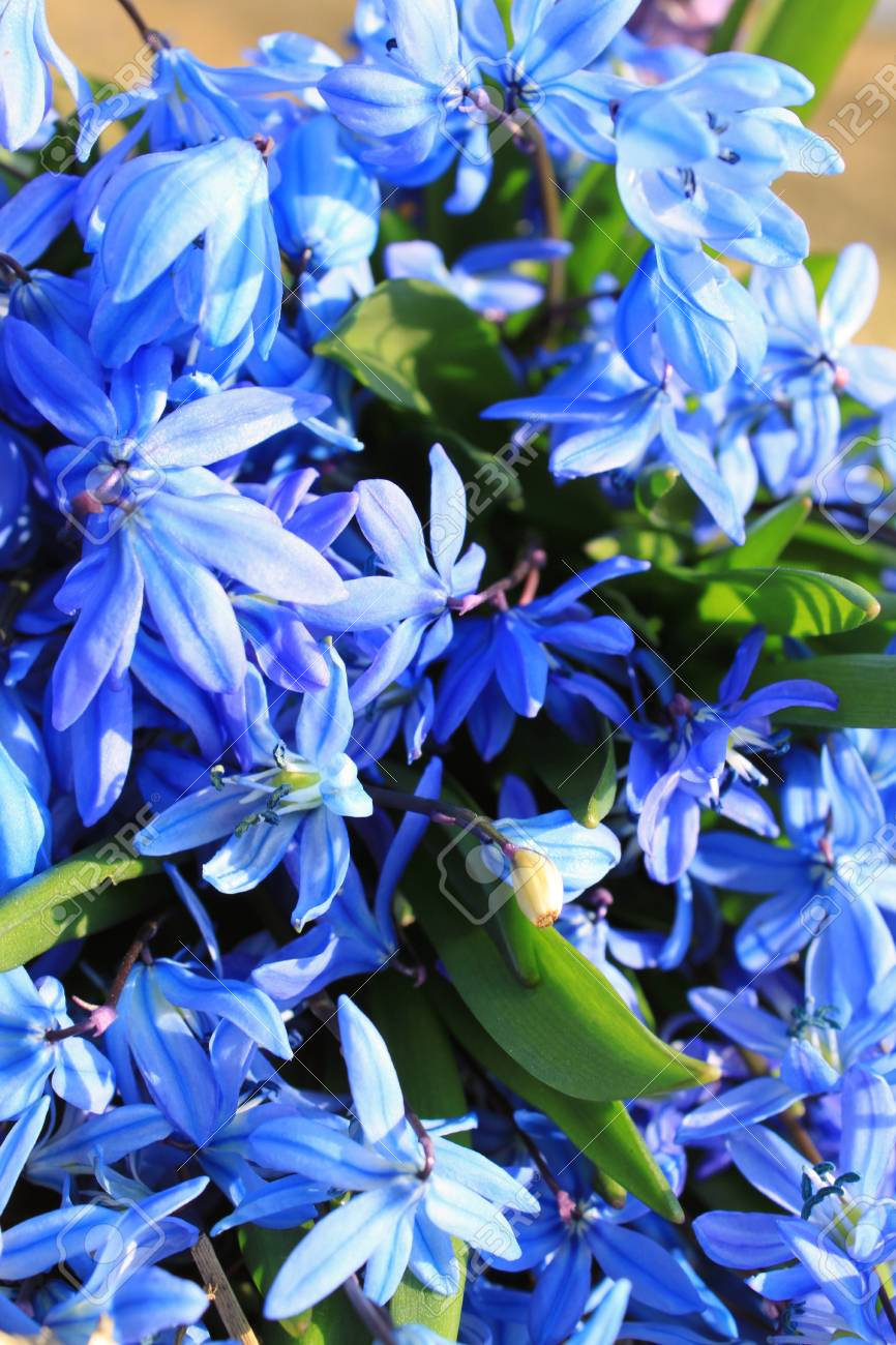 Beautiful blue spring flowers Stock Photo - 13185755