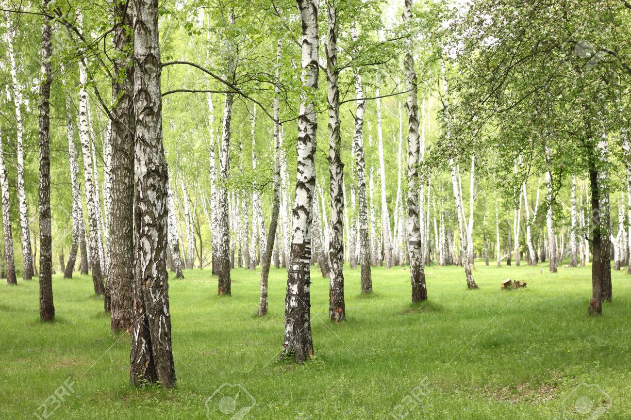 Summer birch trees in forest, beautiful birch grove, birch-wood, green landscape - 58395623