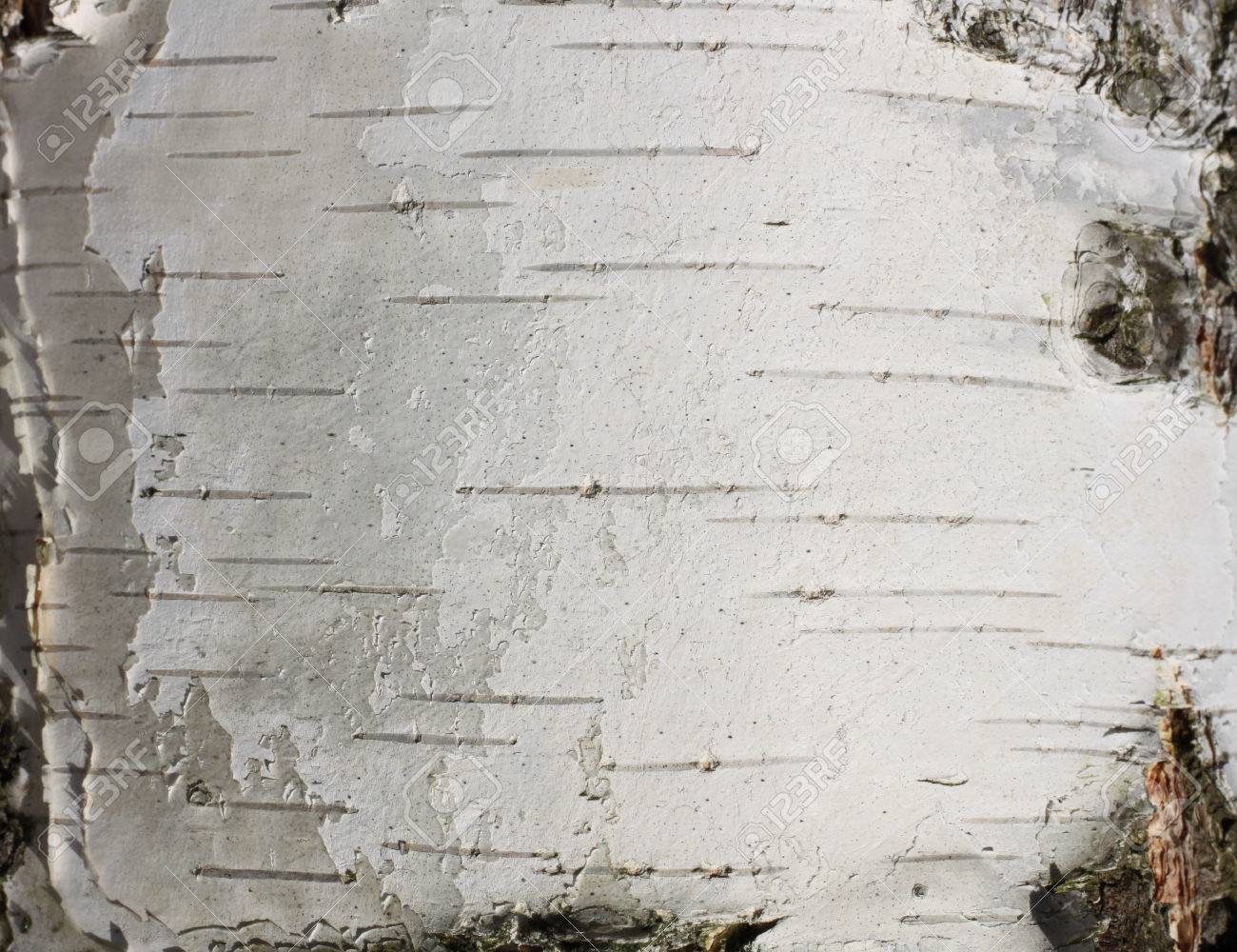 Perfect Birch Bark Texture Natural Background Paper Close-up / Birch  WM73
