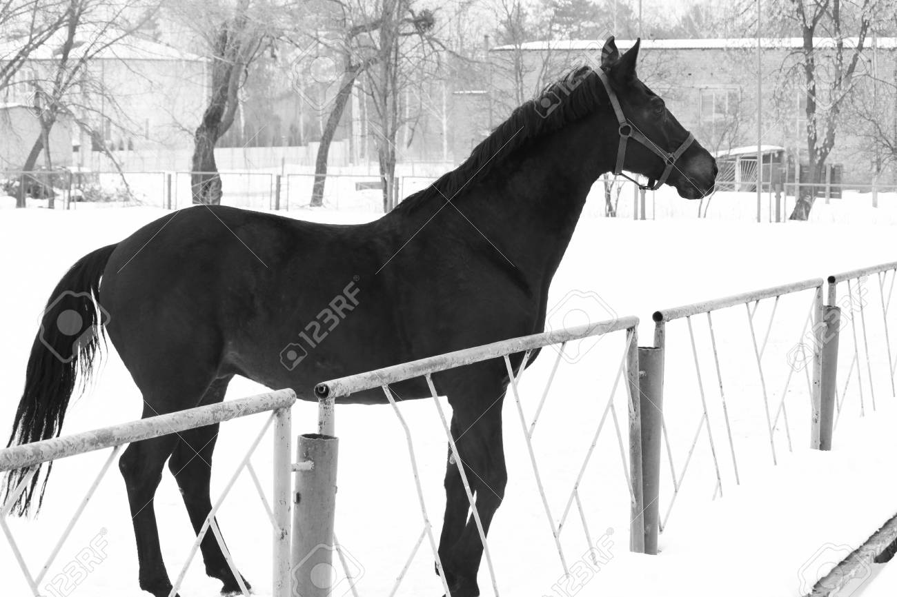 Black And White Photo In Retro Style With Beautiful Black Horse Stock Photo Picture And Royalty Free Image Image 80246960
