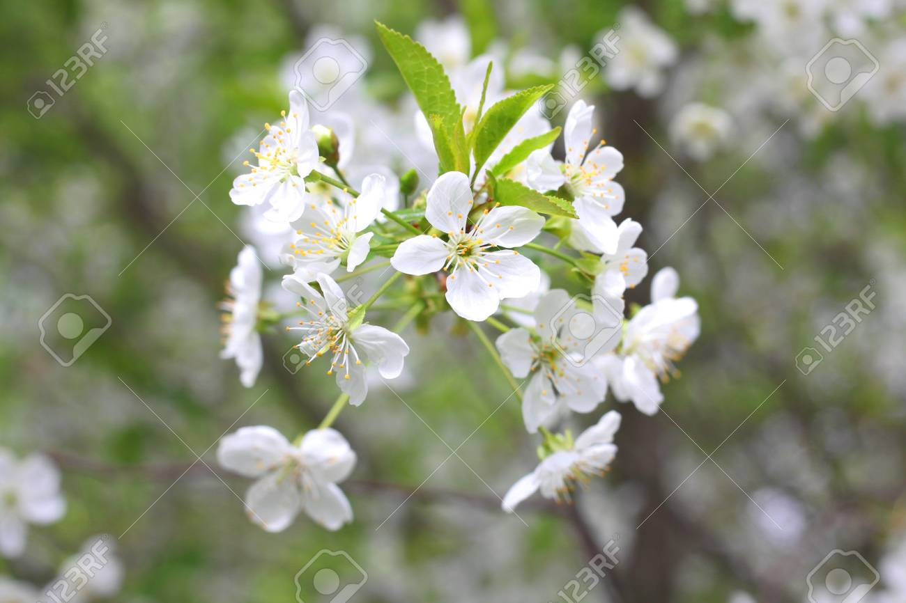 White flowers of fruit tree in good weather in spring stock photo stock photo white flowers of fruit tree in good weather in spring mightylinksfo