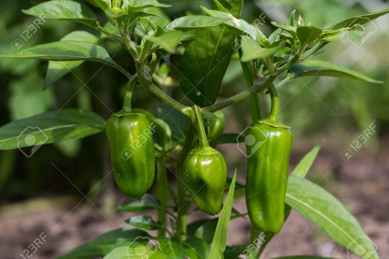 jalapeno pepper plant Stock Photo - 20194610