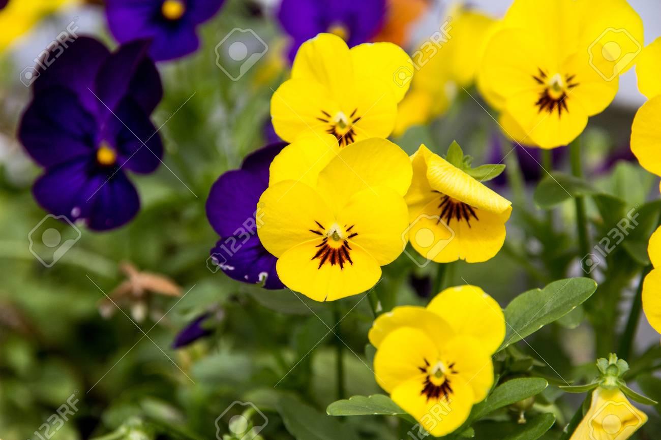 Yellow Pansy Flower In Garden Closeup Selective Focus Stock Photo