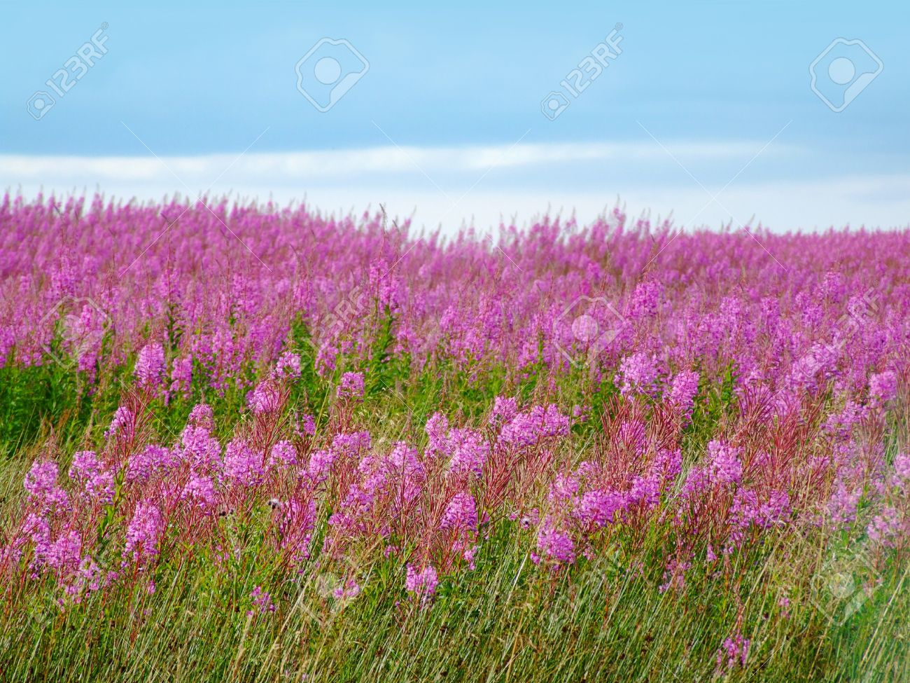 Beautiful meadow of pink wildflowers scotland stock photo picture beautiful meadow of pink wildflowers scotland stock photo 19247530 mightylinksfo