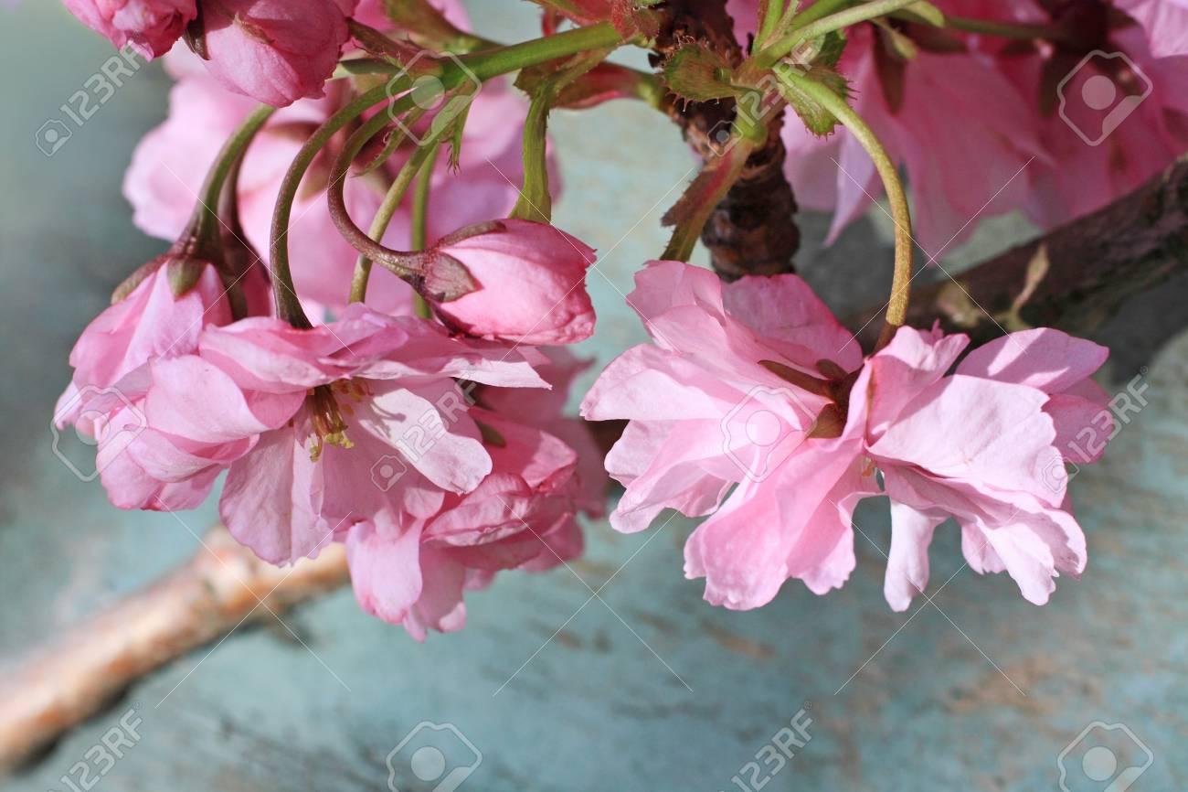 Japanese cherry blossom beautiful background  vintage style Stock Photo - 19863108