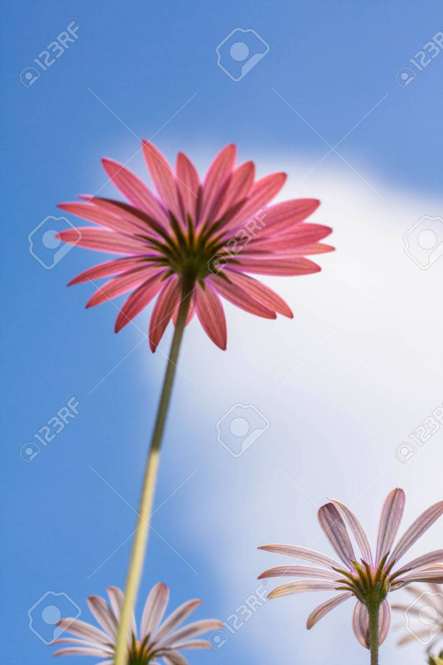 Purple daisy flowers osteospermum stock photo picture and royalty purple daisy flowers osteospermum stock photo 33258409 izmirmasajfo
