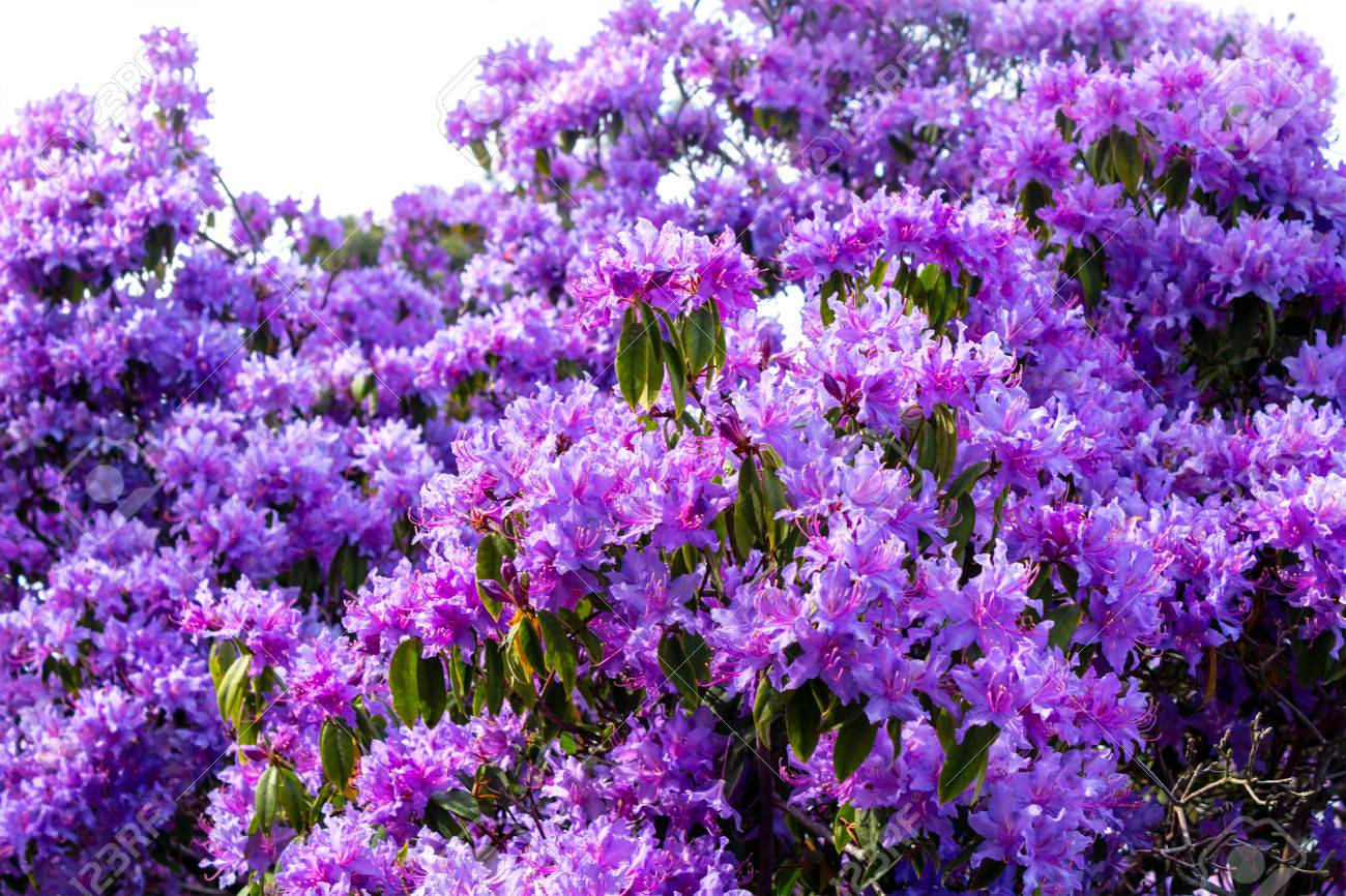 写真素材 , 紫ツツジの花をクローズ アップ