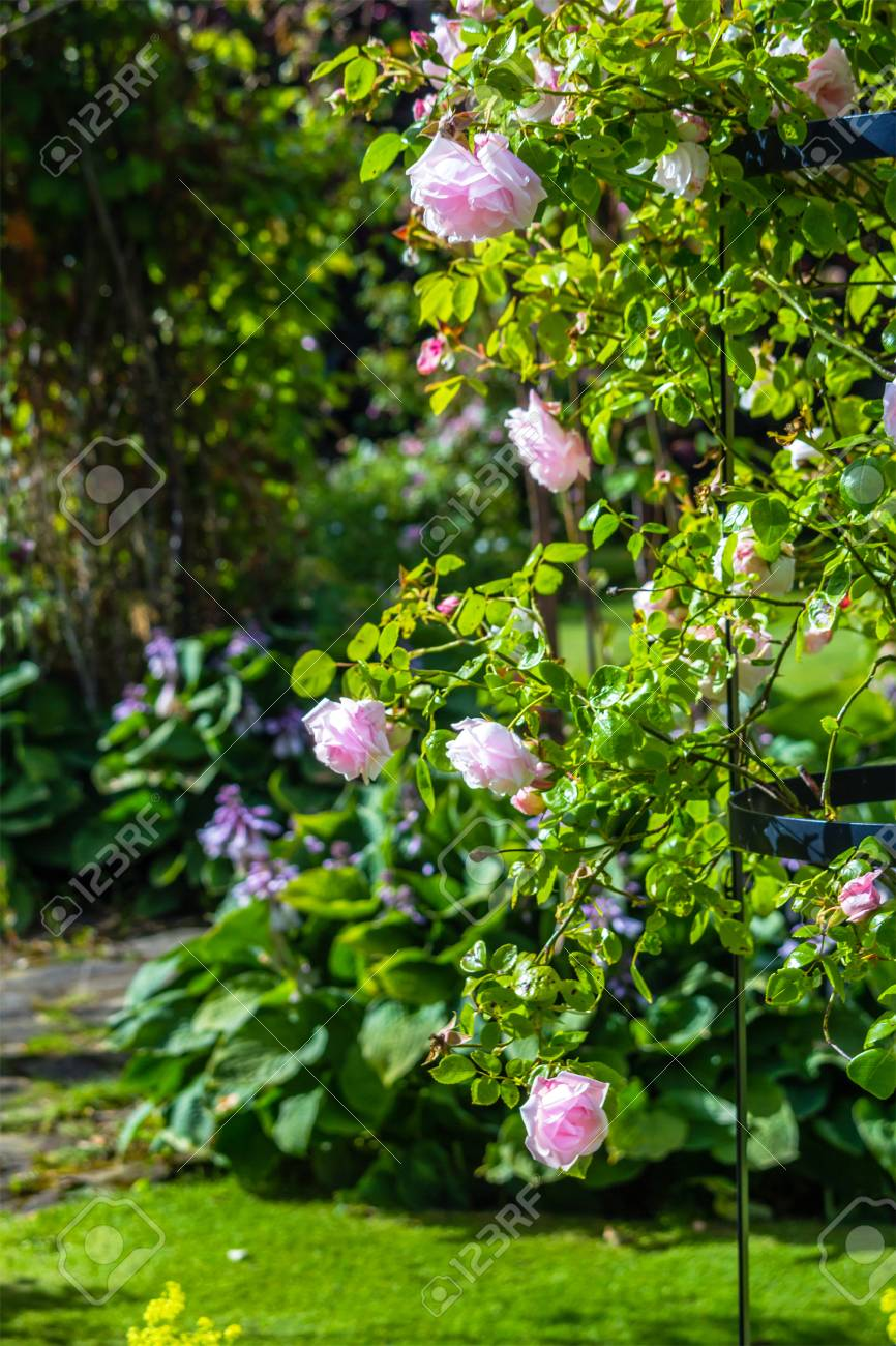Beautiful Light Pink Rose Garden Stock Photo Picture And Royalty