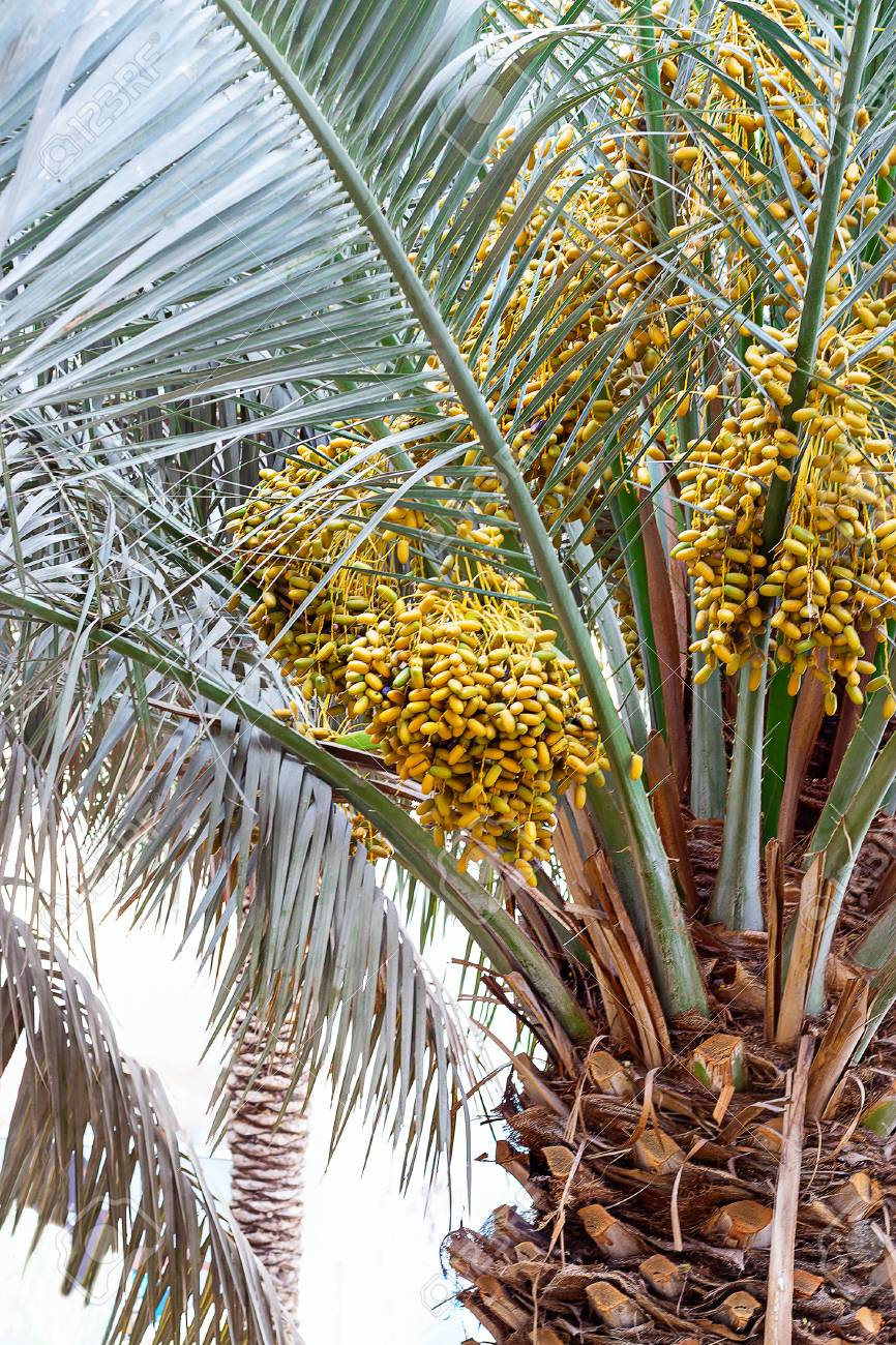 dubai date palm trees