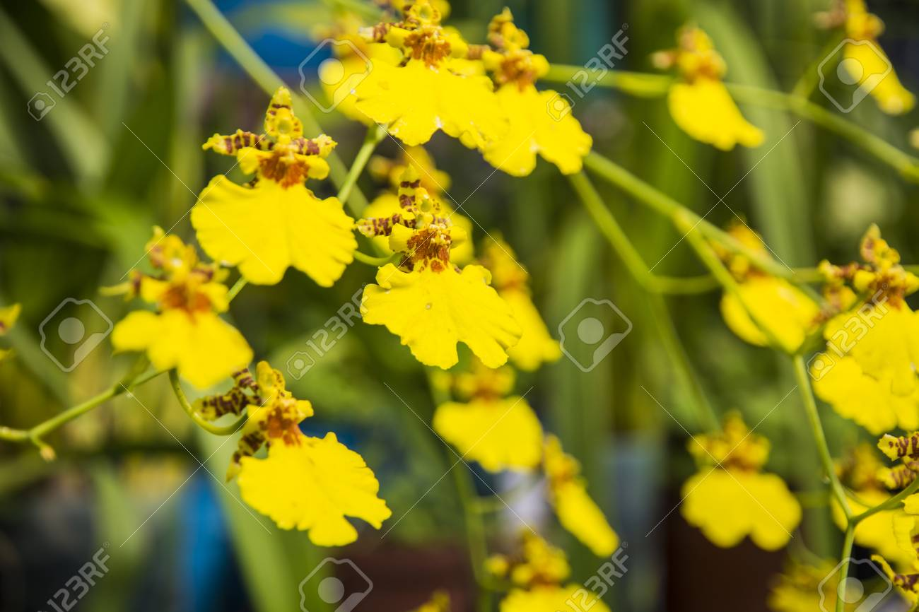 Bright Yellow Flowers Shrub With Succulent Yellow Flowers