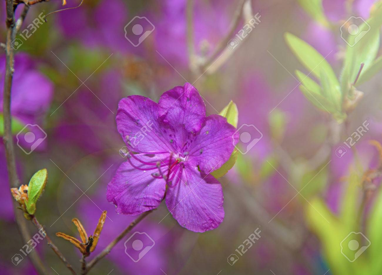 Ledum the entire hive is littered with flowers of bright purple ledum the entire hive is littered with flowers of bright purple color very beautiful izmirmasajfo Choice Image