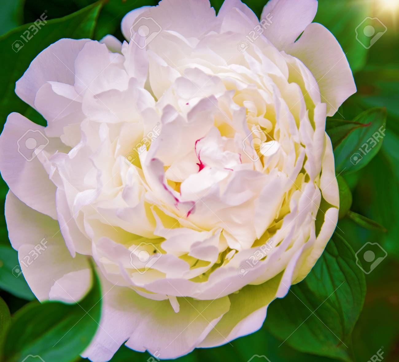 Large White Peonies Many Petals And Juicy Flower In The Bush