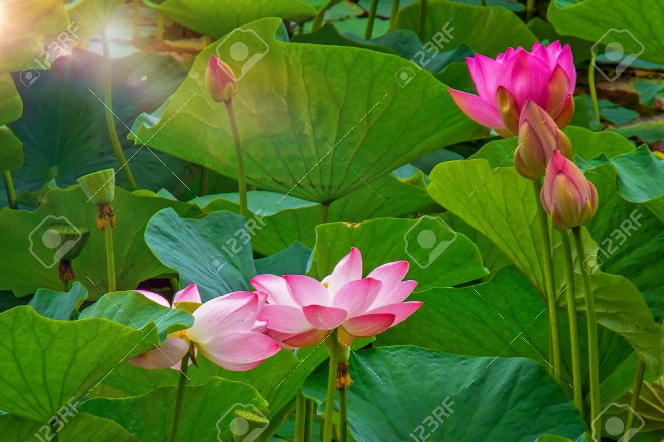 Large lotus flowers bright pink buds of lotus flower floating large lotus flowers bright pink buds of lotus flower floating in the lake close izmirmasajfo