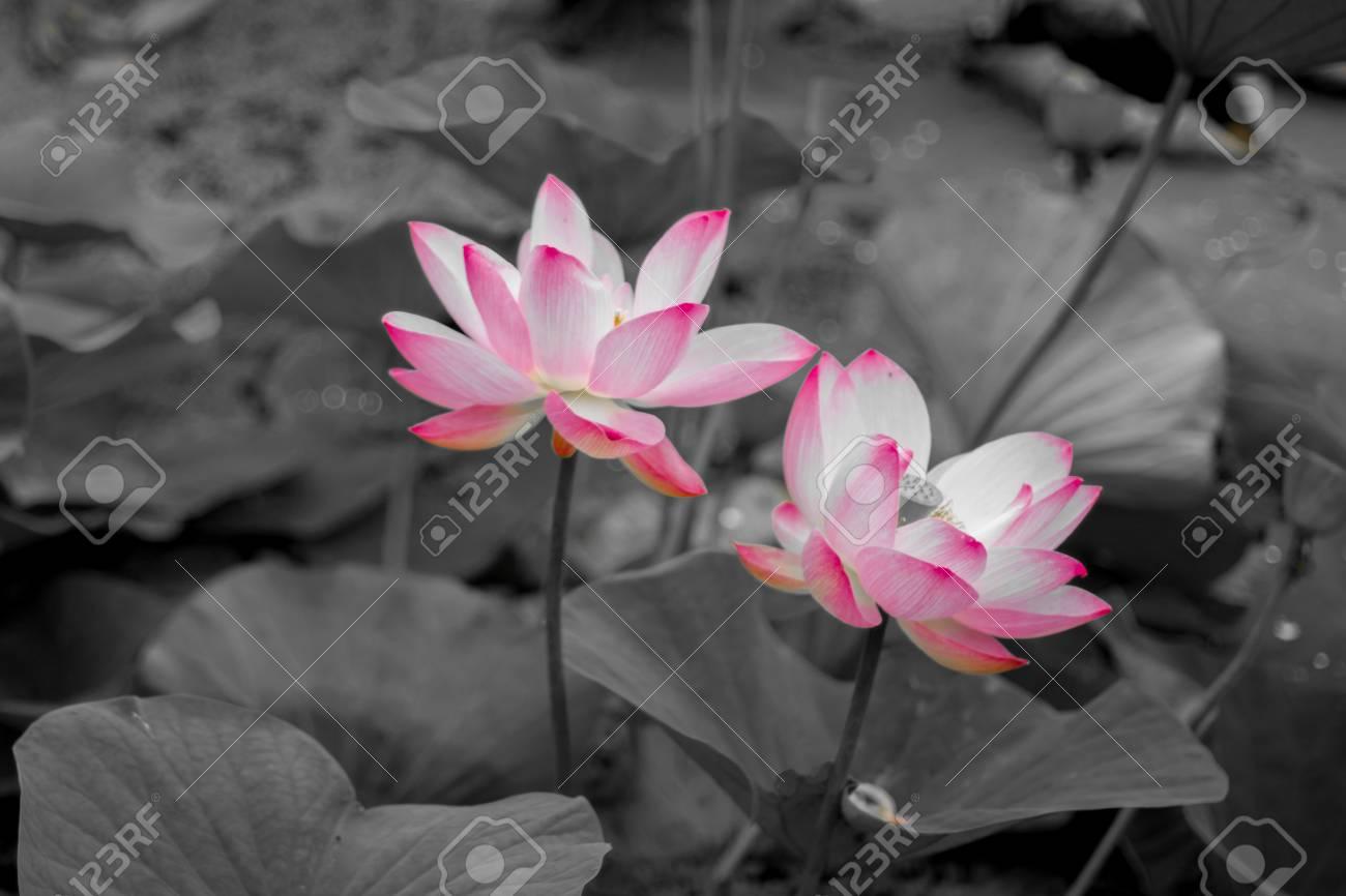Large lotus flowers bright pink buds of lotus flower floating large lotus flowers bright pink buds of lotus flower floating in the lake close izmirmasajfo Images