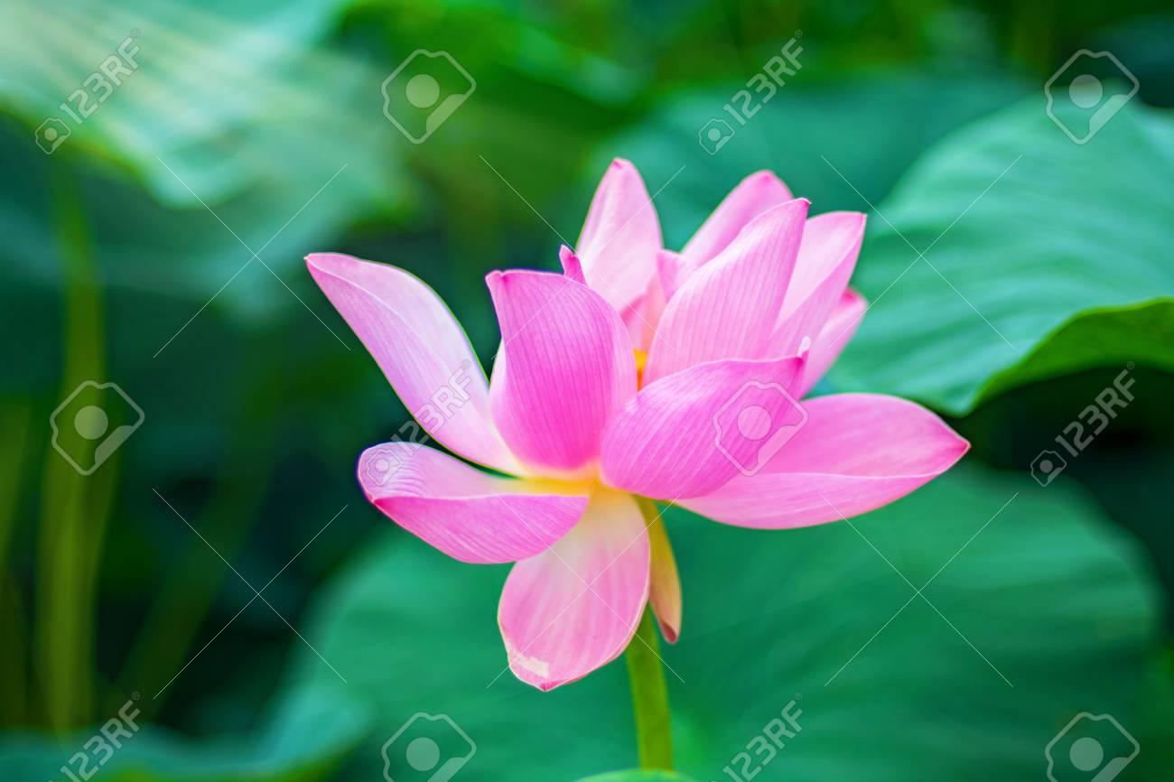 Large lotus flowers bright pink buds of lotus flower floating large lotus flowers bright pink buds of lotus flower floating in the lake close mightylinksfo