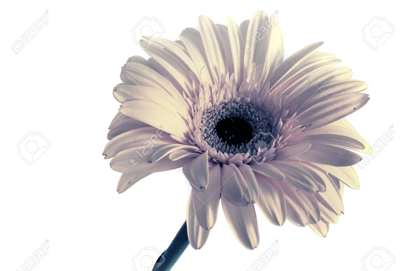 Big beautiful flowers of gerbera gerbera flowers isolates white big beautiful flowers of gerbera gerbera flowers isolates white background gerbera flowers without mightylinksfo