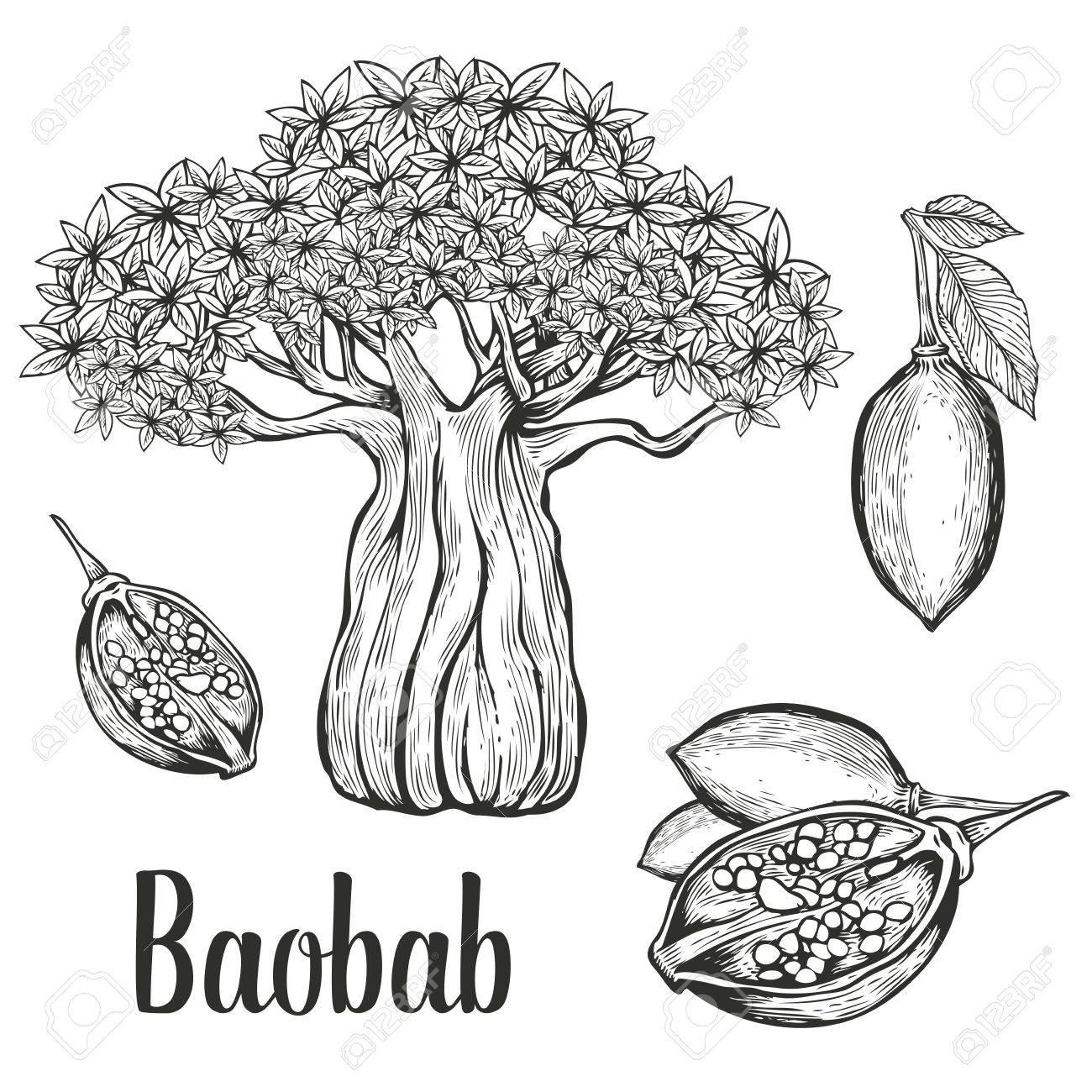 Baobab Fruit Feuille Gravure écrou Vintage Set Illustration Noir Sur Fond Blanc