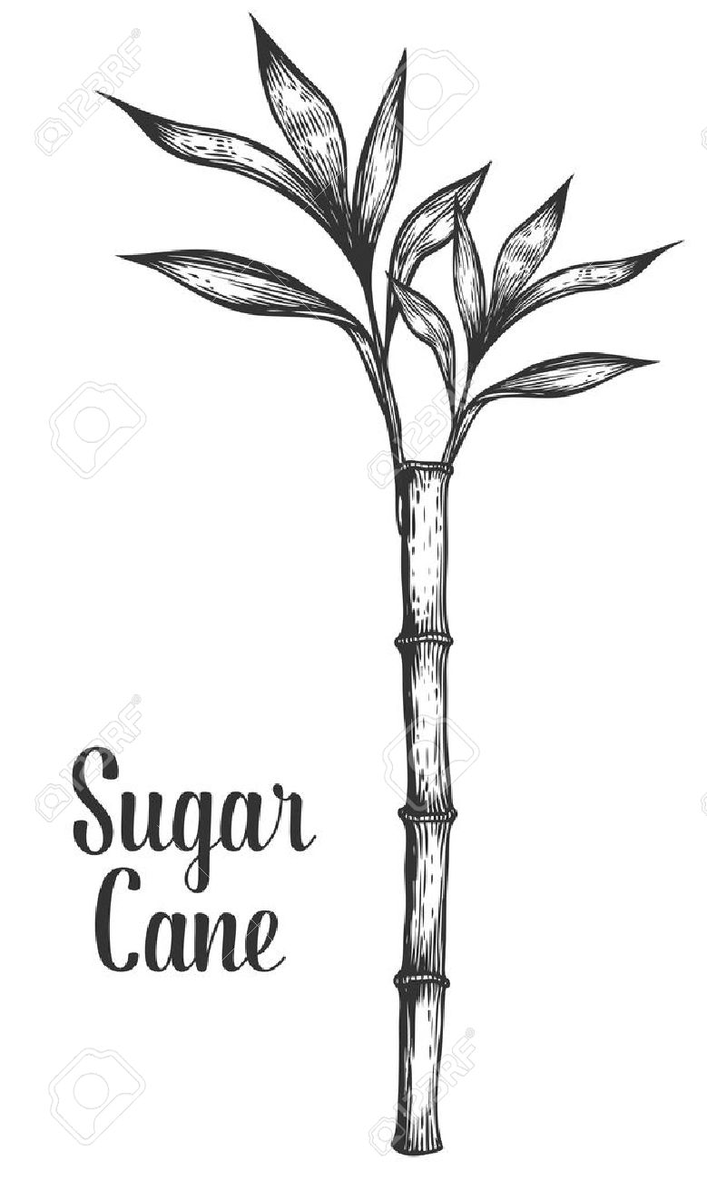 Sugar cane stem branch and leaf vector hand drawn illustration. Sugarcane Black on white background. Engraving style. - 57600014