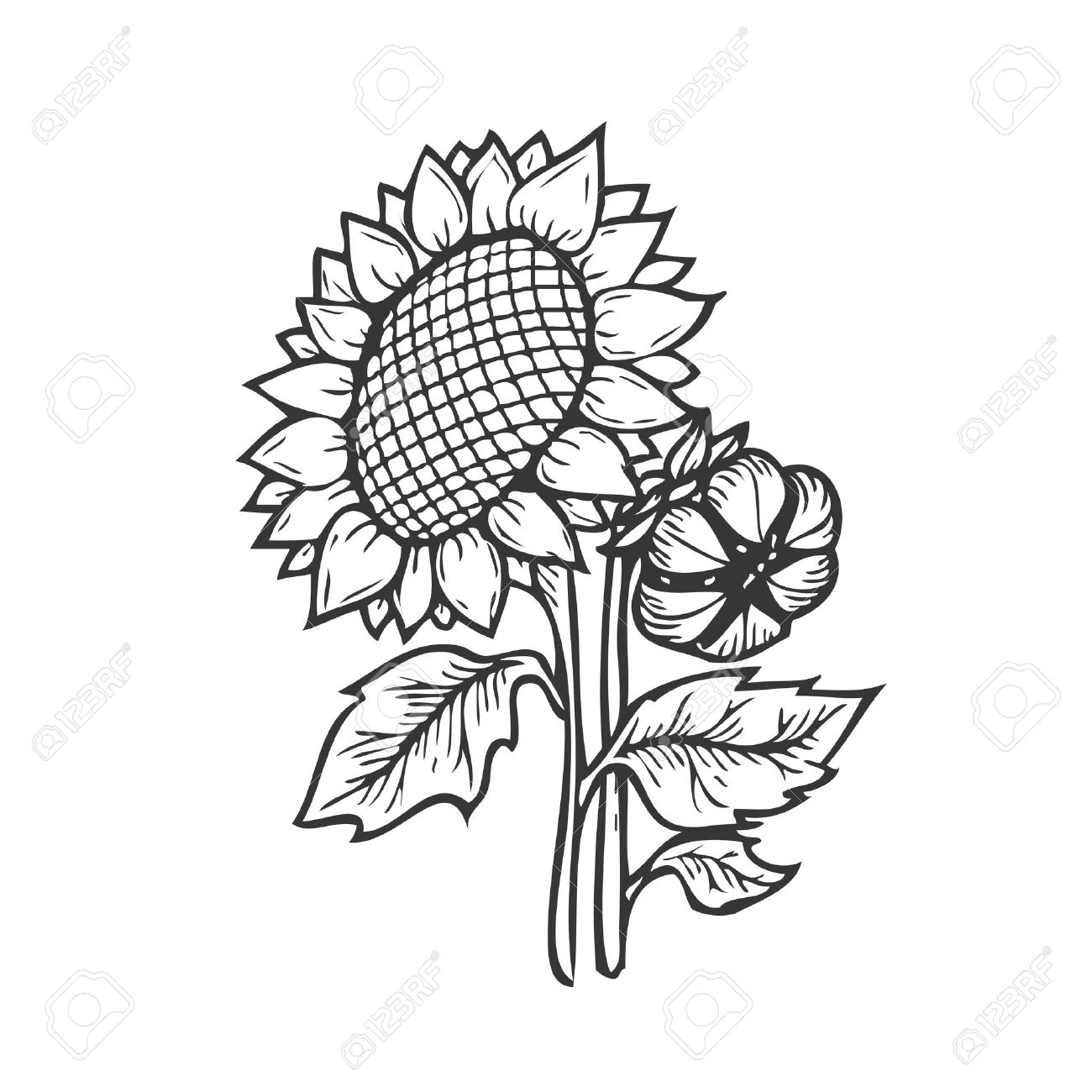 Sunflower Engraving. Vector Hand Drawn Sunflowers Illustration ... for Clipart Sunflower Black And White  181obs