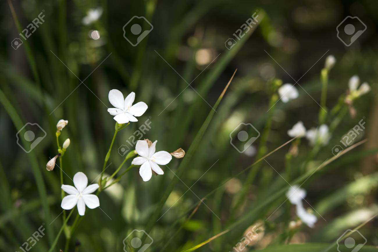 White Tiny Flowers In Botanic Garden Stock Photo Picture And