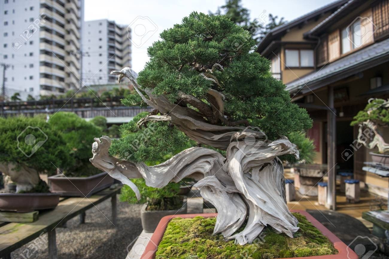 Beautiful Japanese Bonsai Tree In The Garden Stock Photo Picture