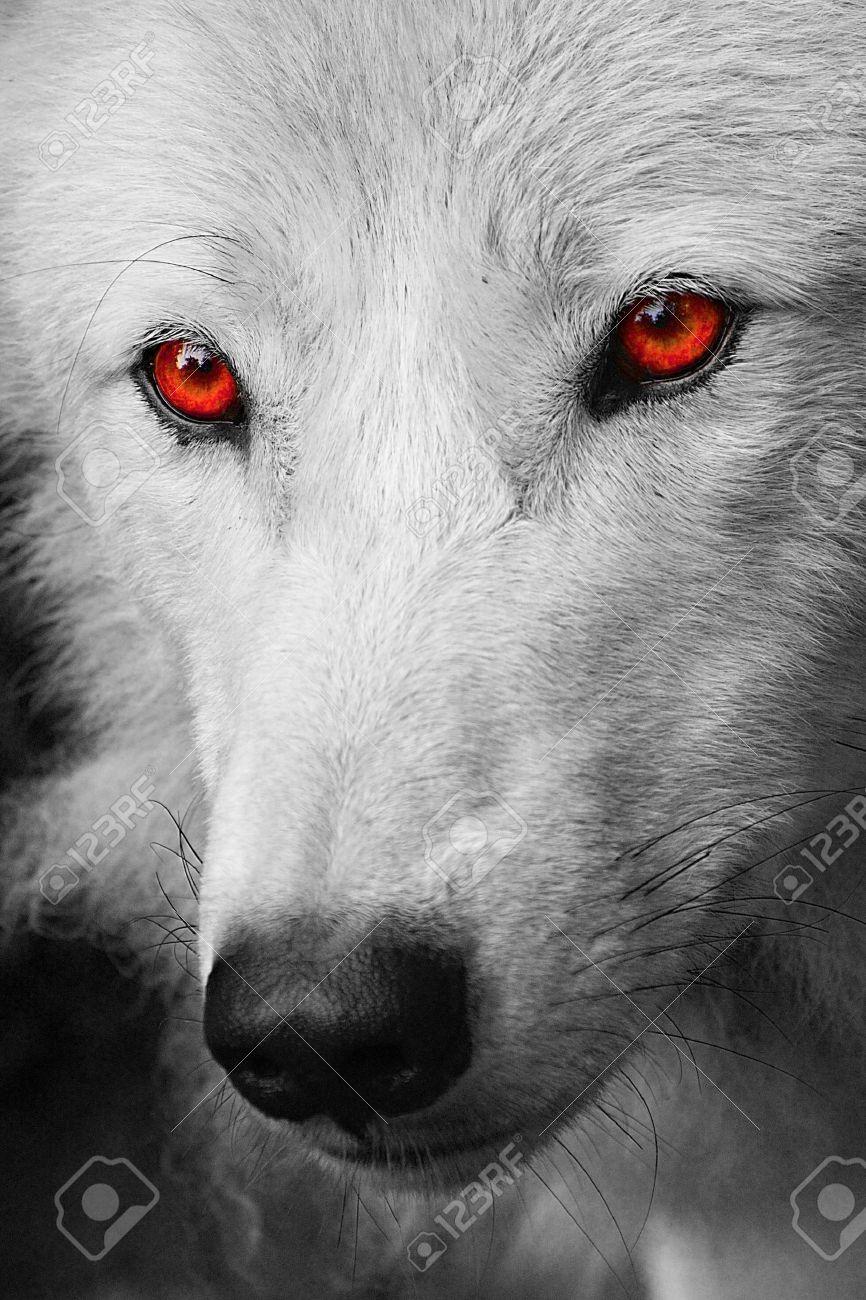 Derek Moon // Male // Blood Moon Pack 23084932-white-wolf-Stock-Photo-eyes