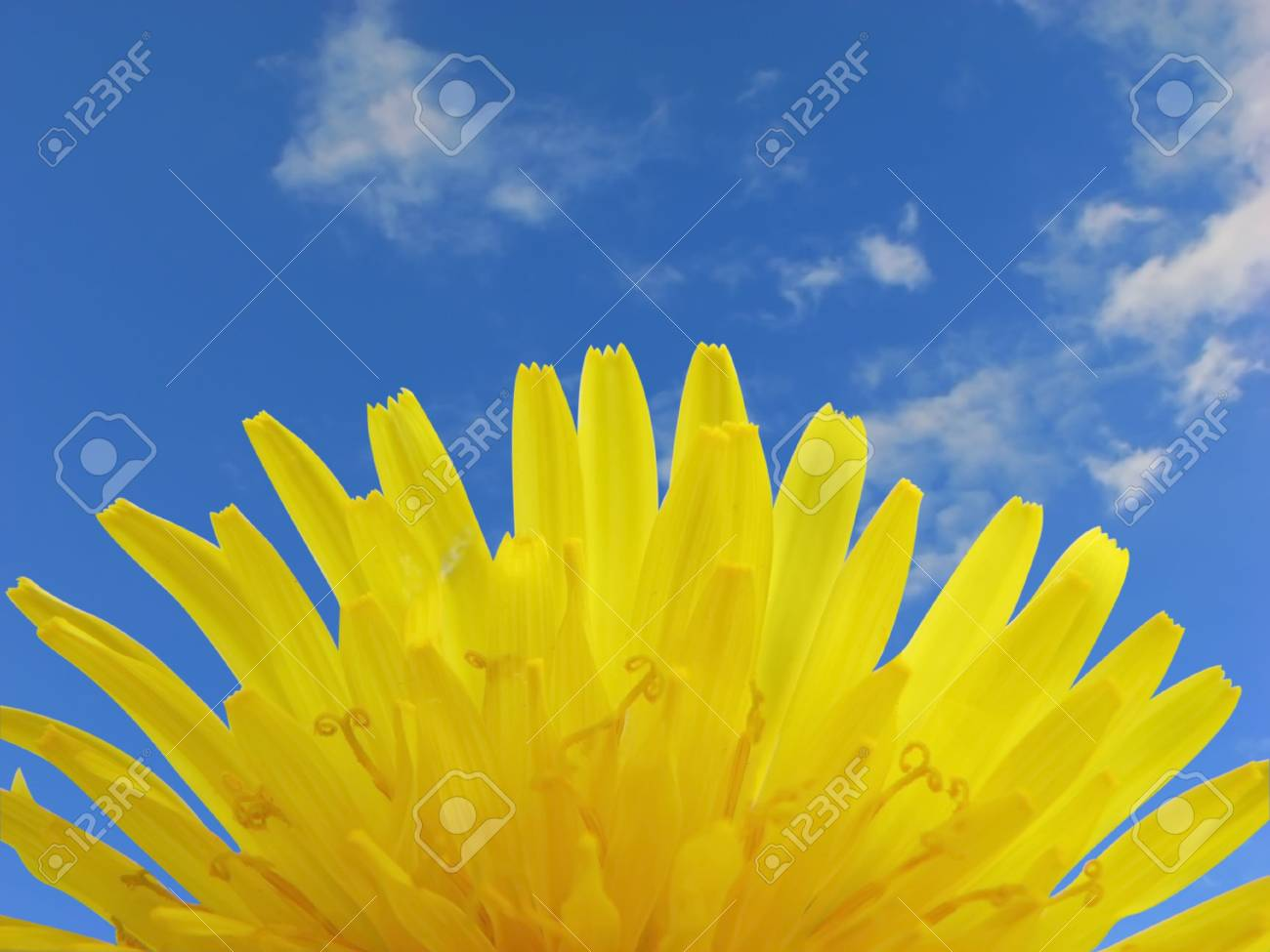 Close up of dandelion looking like the sun. Stock Photo - 5135697