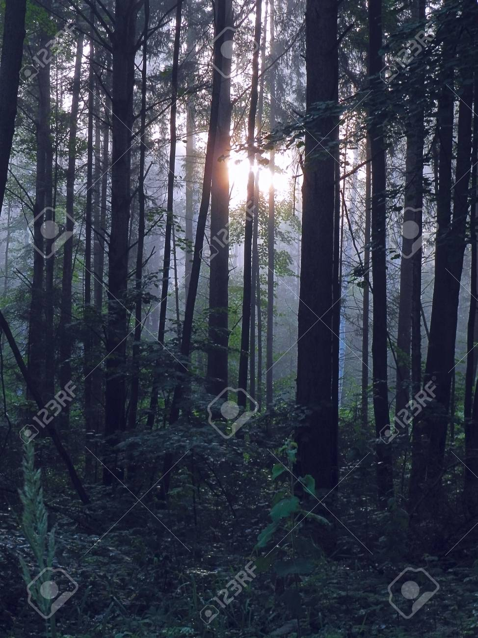 Pinette Des Forets Dans La Brume Matinale Et Le Lever Du Soleil