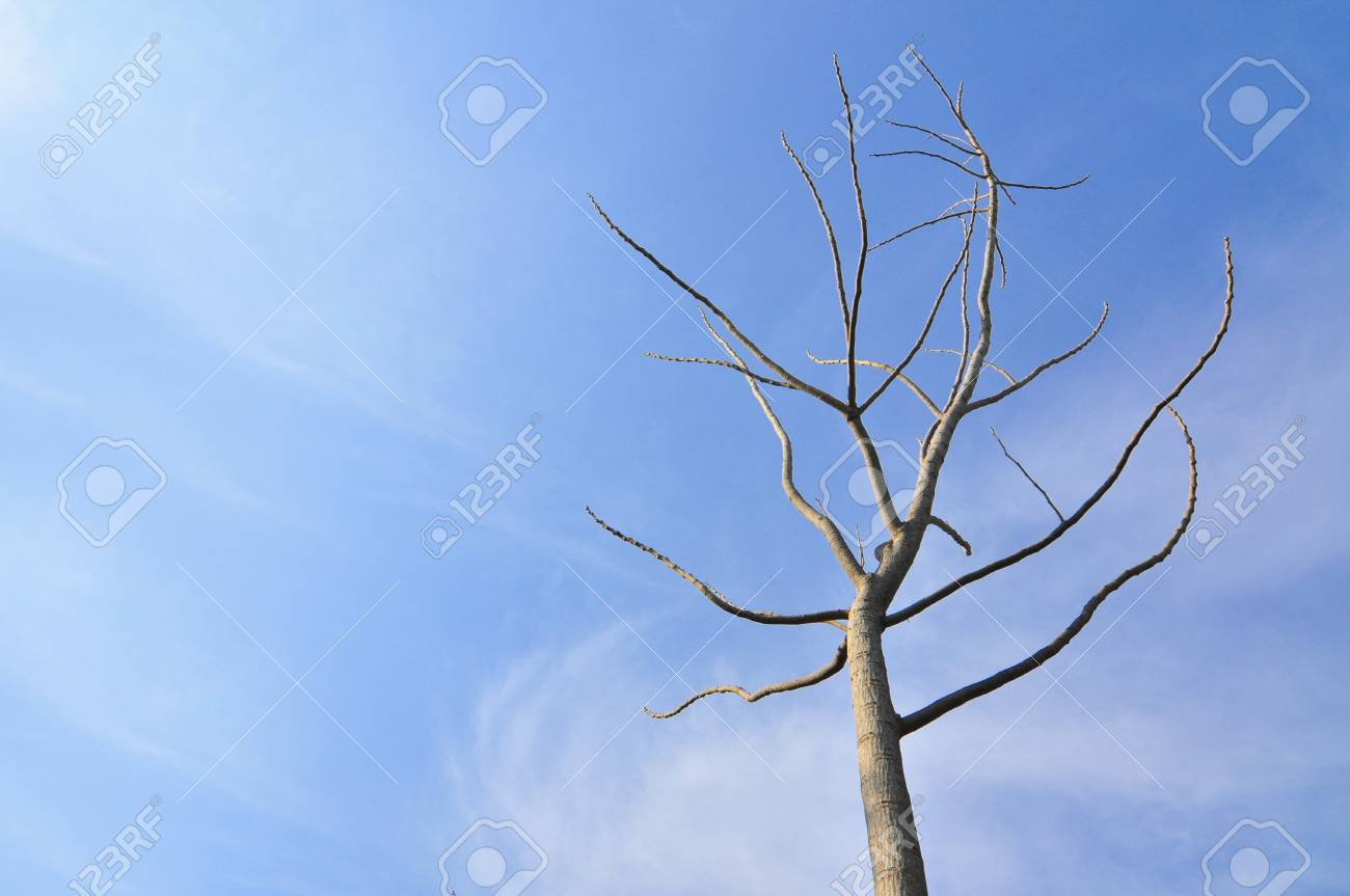 dry tree with blue sky Stock Photo - 8916661