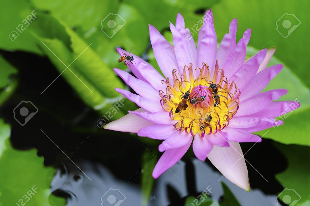 A bee flying to beautiful pink lotus Stock Photo - 10042670