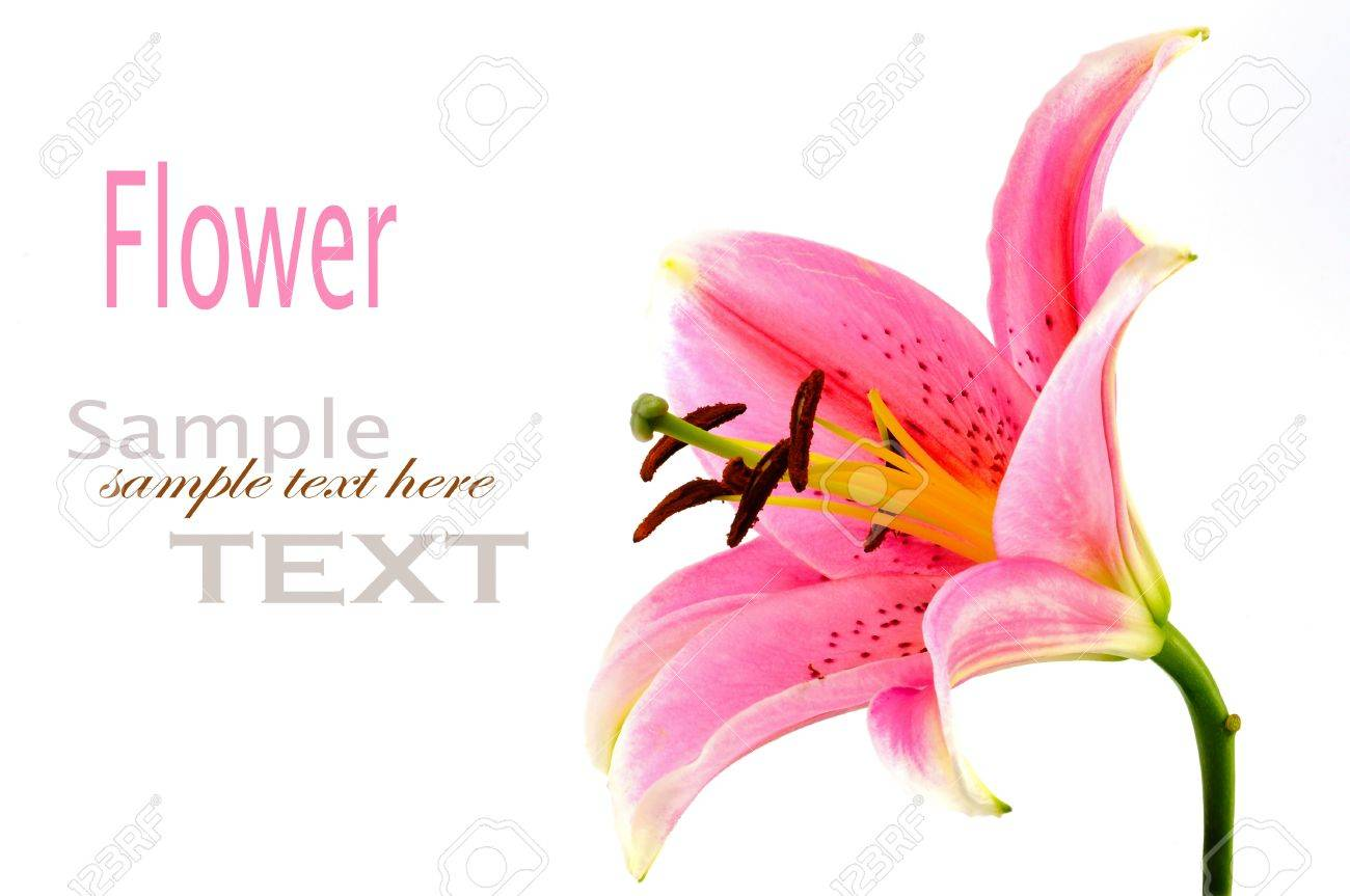 Lily isolated on white background Stock Photo - 10562622