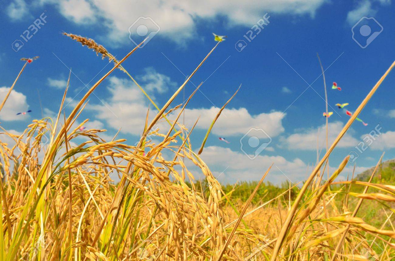 Rice field in blue sky Stock Photo - 11862754